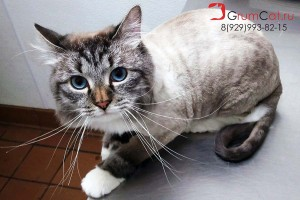 lion-cut grumcat
